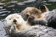 Leinwandbild Motiv vancouver otters