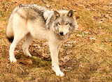 gray wolf on a spring day poster