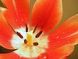 red-white tulip4