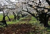 rangée de cerisiers poster