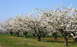 rang de cerisiers poster