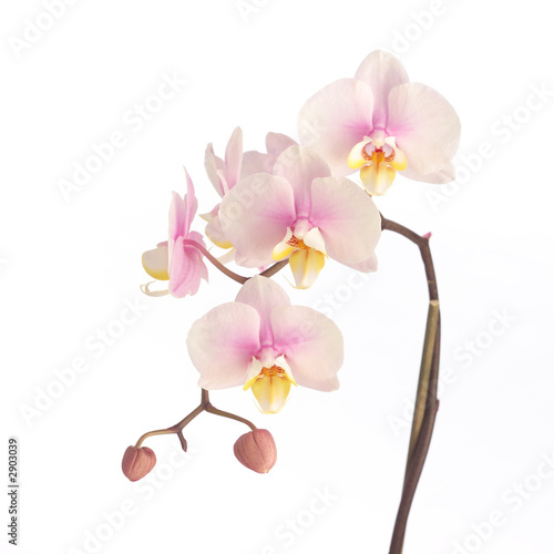 Fotobehang Orchidee soft pink orchid