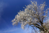 spring bush with white flowers-blue sky poster