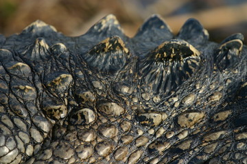 alligator scales detail