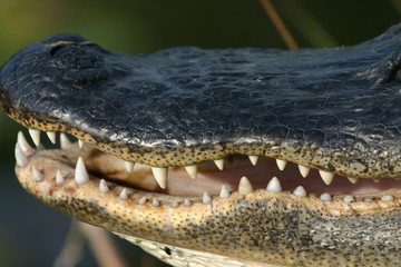 alligator mouth
