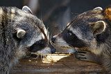 love marriage games of raccoons poster