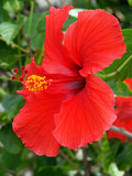vivid red hibiscus poster