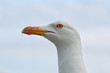 royal seagull