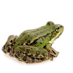 grenouille verte - rana esculenta