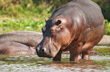 wild hippo poster
