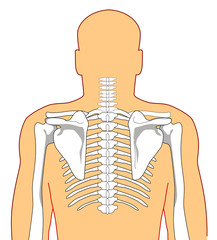 human anatomy showing the skeleton from the back