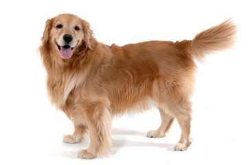 standing golden retriever