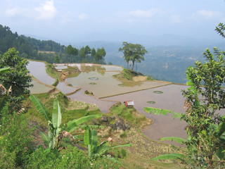 ricefield on the border of the high mountains, rantepao, sulawes