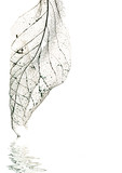 veins of an old magnolia leaf poster