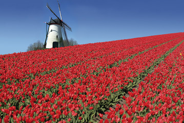 dutch mill and red tulips