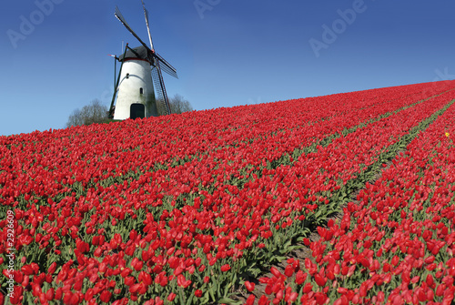 Foto op Canvas Amsterdam dutch mill and red tulips