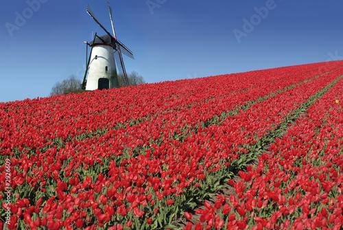 Plexiglas Amsterdam dutch mill and red tulips