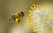 "Постер, картина, фотообои ""bee collecting pollen"""