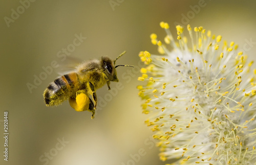 bee collecting pollen