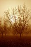 sepia tone sunrise and bare walnut trees poster
