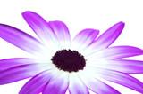 senetti magenta bi-colour poster