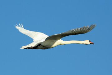 fliegender schwan