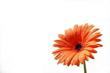 fiore rosso con gocce