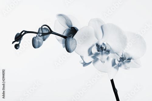 blaue orchidee stockfotos und lizenzfreie bilder auf bild 2944092. Black Bedroom Furniture Sets. Home Design Ideas