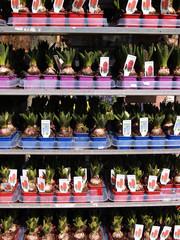 hyacinths in pot