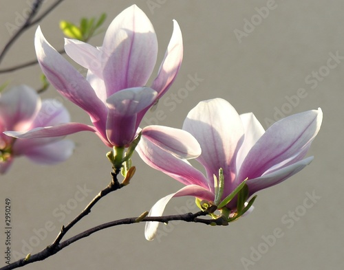 Poster Magnolia magnolia in blossom