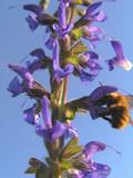 fiore di campo ed ape poster