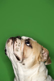 side view of english bulldog on green background. poster