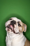 english bulldog smiling on green background. poster