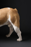 hind legs of standing english bulldog. poster