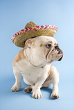 english bulldog wearing sombrero on blue background. poster
