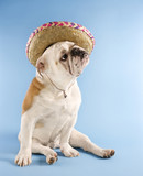 english bulldog wearing sombrero. poster