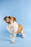 english bulldog looking off to side. poster