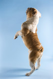 rear view of english bulldog standing on hind legs. poster