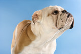 english bulldog on blue background looking away. poster
