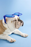 sleepy english bulldog wearing oversized blue sunglasses. poster