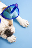 sleeping english bulldog wearing oversized blue sunglasses. poster