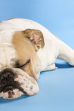 sleeping english bulldog. poster