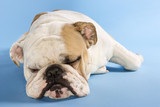 english bulldog sleeping. poster