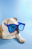english bulldog wearing oversized blue sunglasses. poster