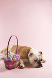 english bulldog sleeping next to easter basket. poster