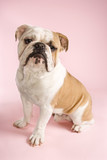 english bulldog sitting. poster