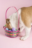 english bulldog with head in easter basket. poster