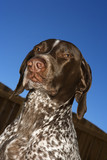 german shorthaired pointer. poster