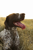 german shorthaired pointer panting. poster