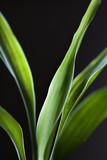 lucky bamboo leaves. poster